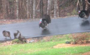 Turkeys in Driveway
