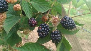 Blackberries ripening on the vine.