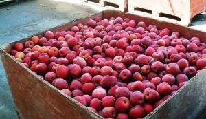Apples just picked