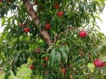 Plums on tree